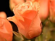 Orange Rose Bud