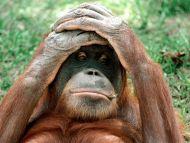 Orangutan, China