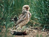 Owl an Ingenious Hunt
