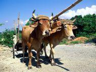 Oxen, Holguin, Cuba