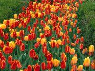 oxford-elite-tulips_prospect-park_holland_michigan