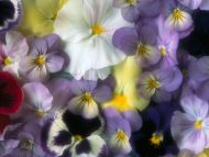 Pansy Bed of Blossoms