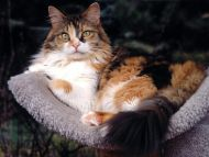 Patches, Maine Coon Mix