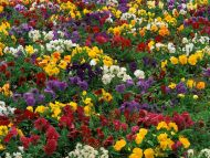 Pattern in Pansy Flowers