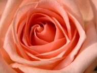 Desktop wallpapers flowers backgrounds peach rose - Peach rose wallpaper ...