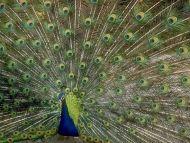Peacock A3