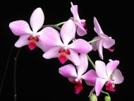 Phalaenopsis Orphan Annie