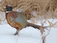 Desktop Wallpapers Animals Backgrounds Pheasant Www