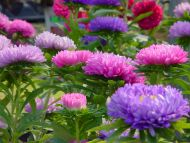 Desktop Wallpapers Flowers Backgrounds Pink And Purple Flowers