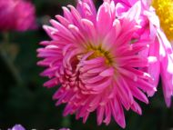 desktop wallpapers » flowers backgrounds » pink aster », Beautiful flower