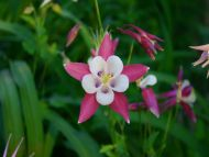 desktop wallpapers » flowers backgrounds » pink columbine », Beautiful flower