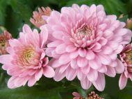 Desktop wallpapers flowers backgrounds pink dahlia www pink dahlia izmirmasajfo