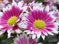 Desktop Wallpapers Flowers Backgrounds Pink Daisies Www