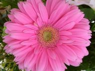 desktop wallpapers » flowers backgrounds » pink flower » www