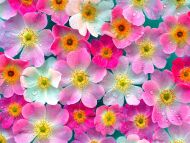 Desktop wallpapers flowers backgrounds pink flowers www pink flowers mightylinksfo