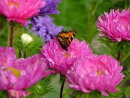 Pink Flowers with Butterfly