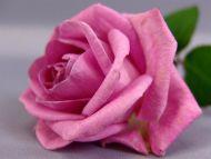 pink-rose-1b