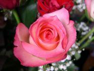 Desktop Wallpapers » Flowers Backgrounds » Pink Rose Close ...