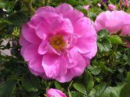 Pink Rose Rugosa