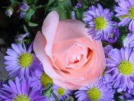 Pink Rose with Purple Flowers