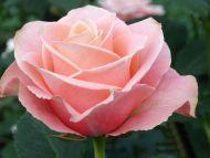 Desktop Wallpapers » Flowers Backgrounds » Pink Roses