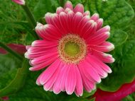 Pink Shadded Gerbera Daisy
