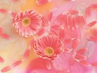 Pink Shaded Gerbera