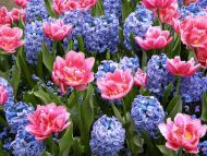 Gardens backgrounds pink tulips with purple pink tulips with purple