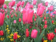 Pink Tulips, Wicksteed Park