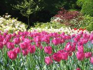 Pink White Tulips Garden