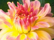Yellow and pink background filepeeps yellow pinkjpg wallpaper pink pink yellow dahlia mightylinksfo