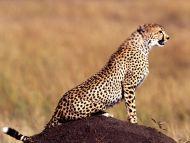 Posture Cheetah