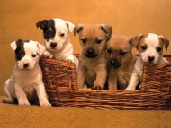 Pound Puppies, Terrier Mix