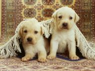 Puppies Under the Rug