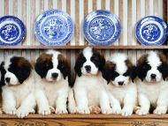 Puppies with Plates