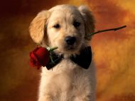 Puppy with Rose in Mouth
