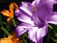 Purple Amaryllis