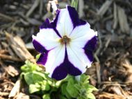 Purple and White Petunia