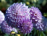 Desktop wallpapers flowers backgrounds purple dahlia www purple dahlia izmirmasajfo
