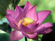 Orange lotus flower comousar orange lotus flower purple lotus flower izmirmasajfo