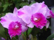 Purple Pink Daffodil