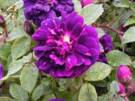Purple Rose Centifolia Muscosa