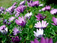 Purple Violet Gerbera Daisy
