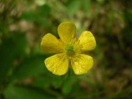 Ranuncul Acris Buttercup Ranunculaceae