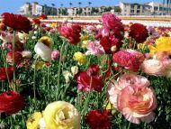 Ranunculuses, Carlsbad, California