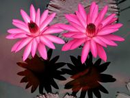 Desktop wallpapers flowers backgrounds rare pink flowers www rare pink flowers mightylinksfo