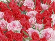 Desktop Wallpapers Flowers Backgrounds Red And Pink Roses Www