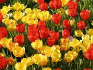 Yellow And Red Flowers Comousar