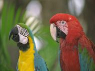 Red and Yellow Parrots