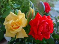 Desktop Wallpapers Flowers Backgrounds Red And Yellow Roses Www Desktopdress Com